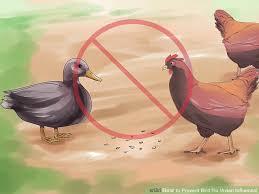 poultry avain flu