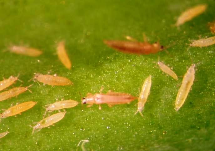 thrips in onion