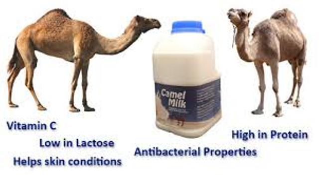 uses of camel milk