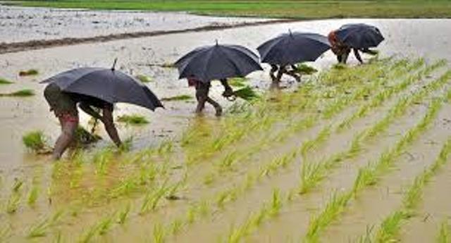 rice seedling harmes
