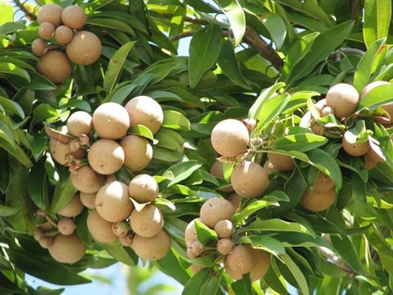 Sapeta Fruit