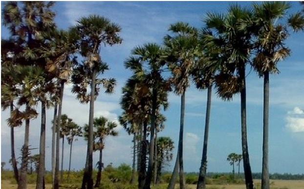 Palm Tree Cutting in Odisha