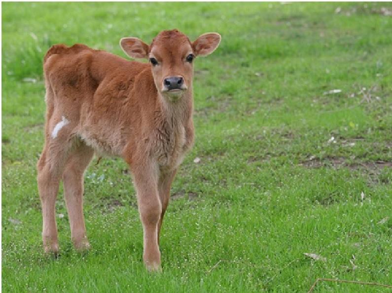 Calf care Tips