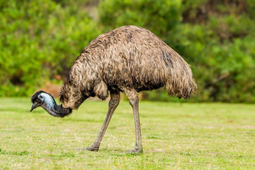 Tasty Meat of Emu