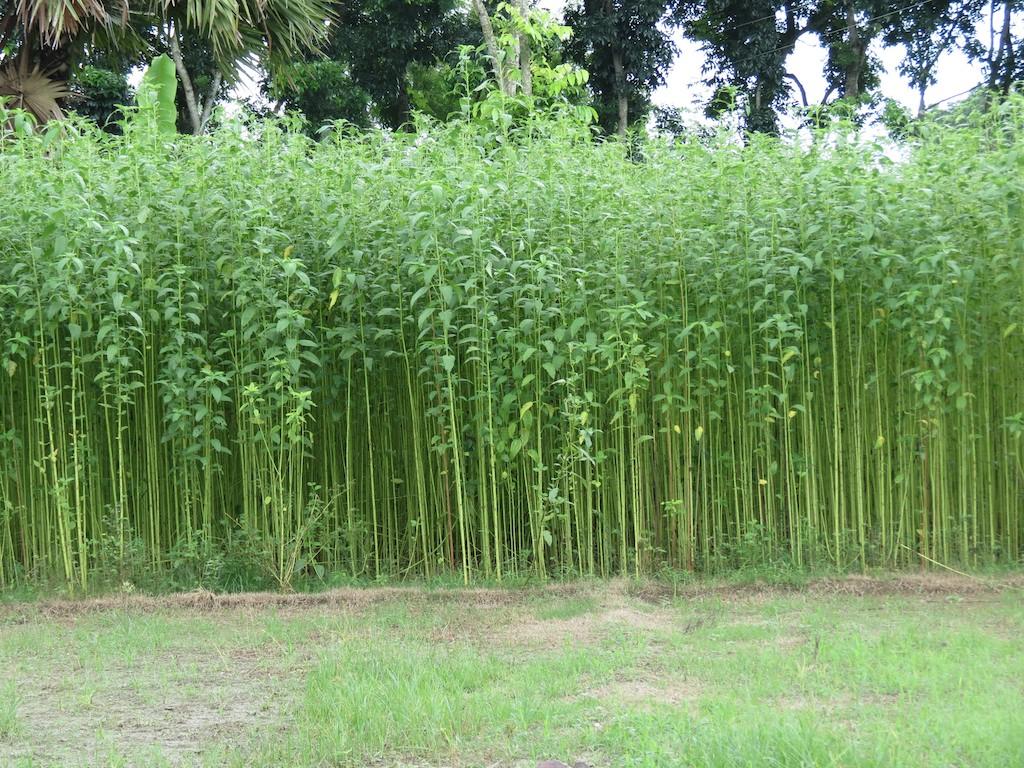 More about Jute Farming