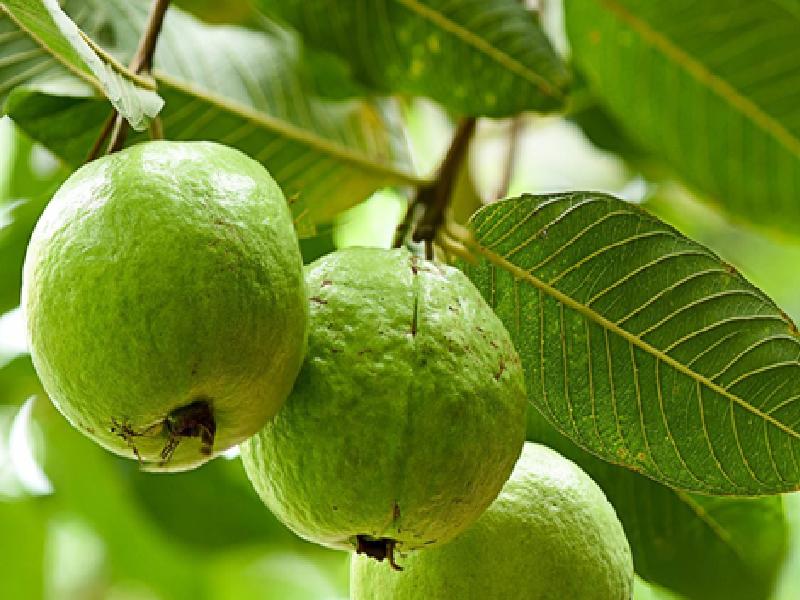 Guava Farming